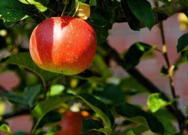 Els empresaris de la fruita no poden assumir les baixes per Covid-19 com accident laboral