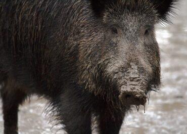 JARC denuncia l'abandó d'Agricultura del control de la fauna salvatge