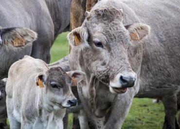 JARC i COAG s'oposen a la pujada de l'aportació econòmica dels ramaders a PROVACUNO