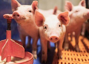 JARC proposa generar un registre de contractes d'integració del sector porcí