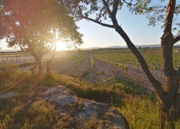 apostem per la collita en verd com a mesura més adequada per a abordar la crisi del sector vitivinícola per la COVID