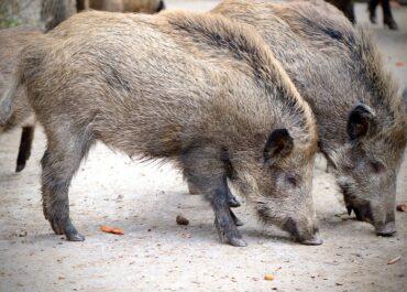 JARC presentarà un recurs d'alçada per la prohibició de caça a Vilabertran