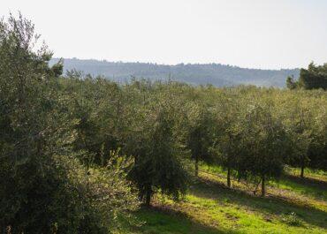 JARC reclama millores urgents en l'assegurança pel fred de l'olivera
